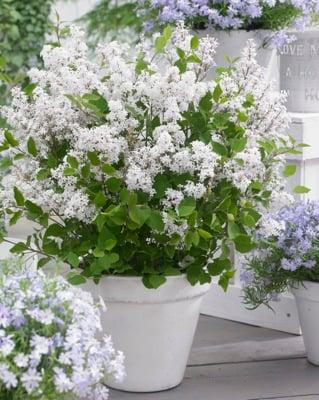 Syringa Flowerfesta® White