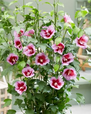 Hibiscus Flower Tower Purple