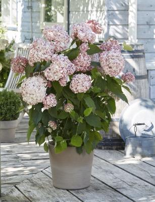 Hydrangea Candybelle® Bubblegum