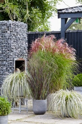 Miscanthus Red Cloud®