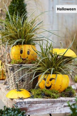 Carex EverColor® 'Everglow'